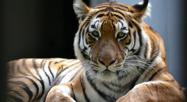 Una tigre in uno zoo di New York è risultata positiva al test del Coronavirus
