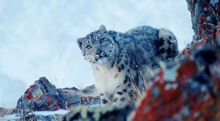 Uno scienziato scatta una rarissima foto di una femmina di leopardo delle nevi, a soli 20 metri di distanza