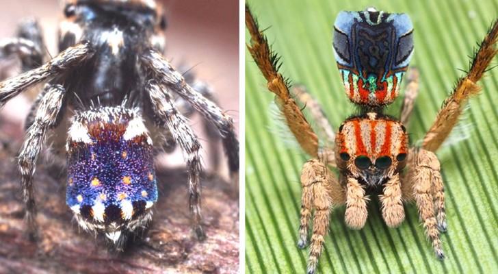 Découverte en Australie de 7 nouvelles espèces d'araignées paons : minuscules, colorées et capables de