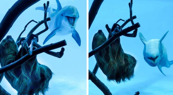 L'acquario è chiuso per il Covid: i delfini vedono un bradipo e non riescono a contenere il loro stupore
