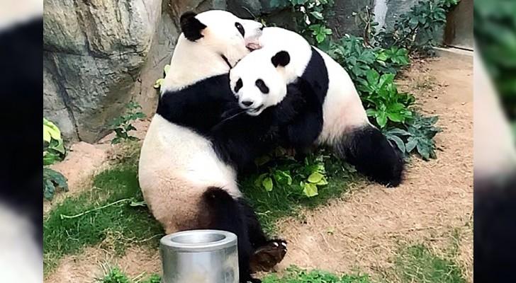 Nu de dierentuin gesloten is vanwege het Coronavirus, slagen twee reuzenpanda's erin om te paren, na 10 jaar wachten