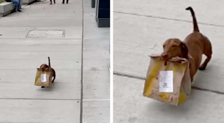 Deze schattige teckel brengt een zak met eten tussen zijn tanden naar zijn familie die in quarantaine zit