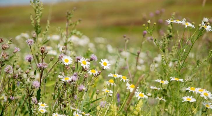 Con le città deserte, proliferano i fiori e le piante selvatiche: potrebbero aiutarci a salvare le api e la biodiversità