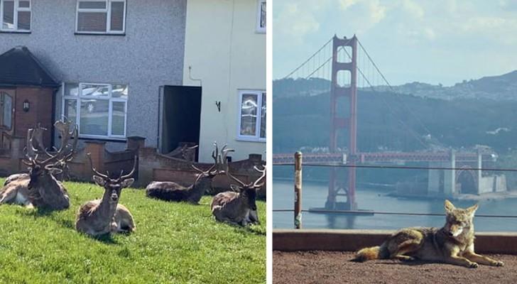 Omdat de mensen in huis zitten, nemen de dieren de steden over: enkele merkwaardige beelden van over de hele wereld