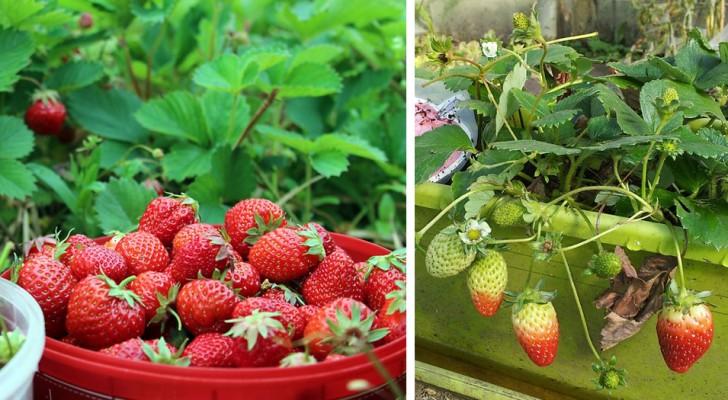 Wie man Erdbeeren in Töpfen anbaut und immer einen