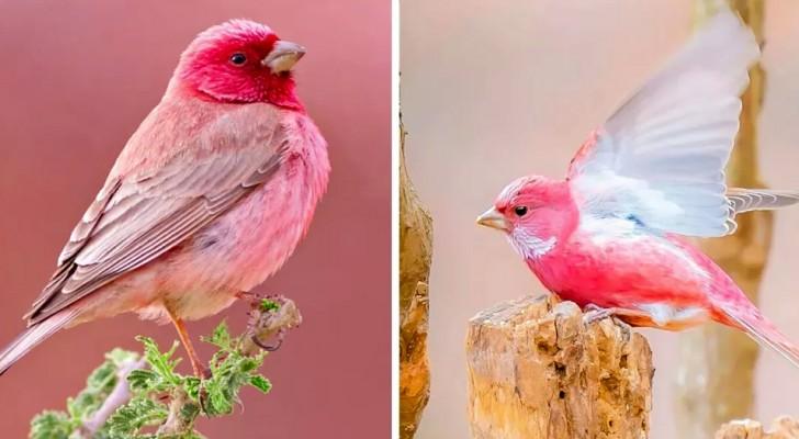 Le roselin, ce charmant petit oiseau de l'Himalaya qui semble coloré avec un feutre rose