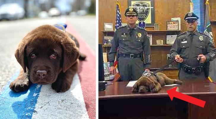 Este adorable perro policía no logra dejar de dormir ni durante su juramento oficial
