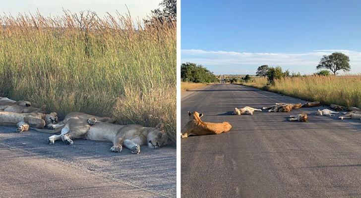 In Sudafrica, un gruppo di leoni approfitta della quarantena per godersi un pisolino in mezzo alla strada