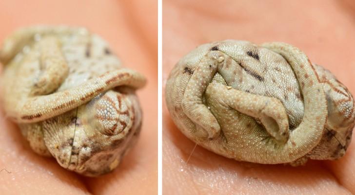 Il piccolo camaleonte riesce a schiudere l'uovo, ma per qualche istante non si accorge ancora di essere nato