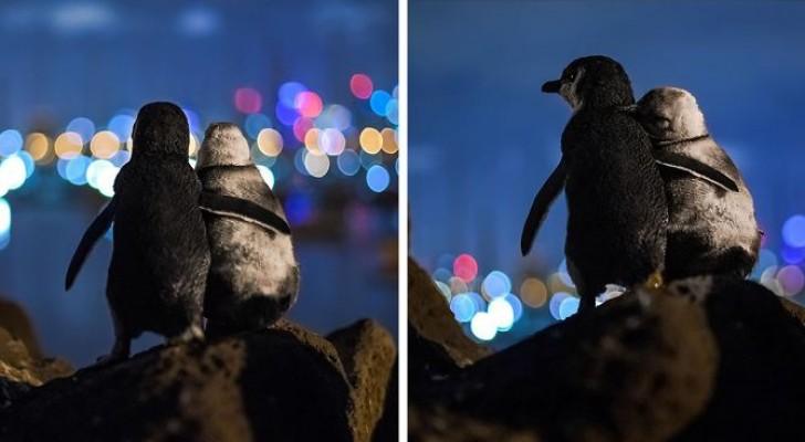 Ein Fotograf hält zwei verwitwete Pinguine fest, die sich trösten, indem sie die Lichter der Stadt beobachten