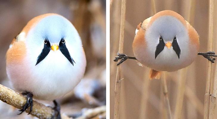 Die Bartmeise, der bezaubernde pummelige kleine Vogel, der aussieht, als hätte er zwei schwarze Koteletten im Gesicht...