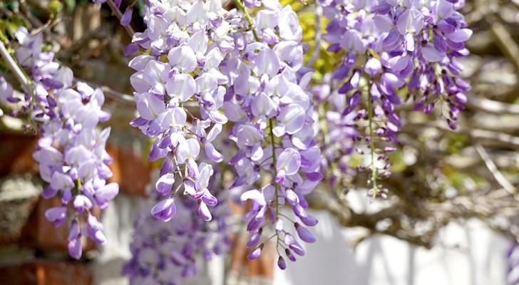 Blauweregen: dankzij de paarse kleur en de geur creëert het een magische sfeer in tuinen over de hele wereld