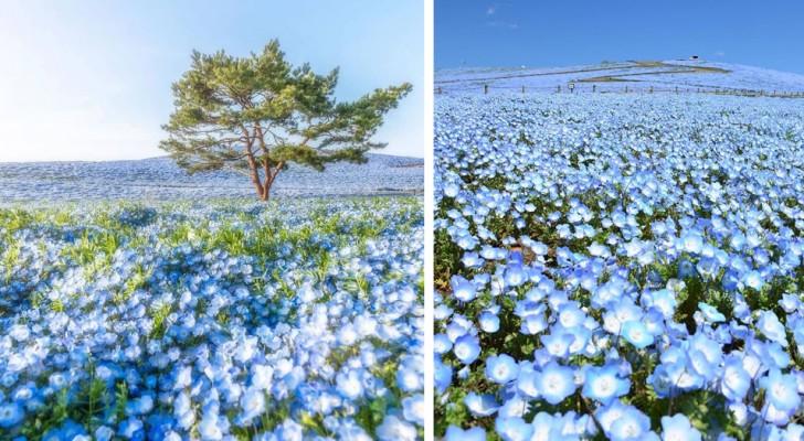 In Japan blühen mehr als 4 Millionen blaue Blumen: Jeder Frühling wird zu einem beispiellosen Spektakel