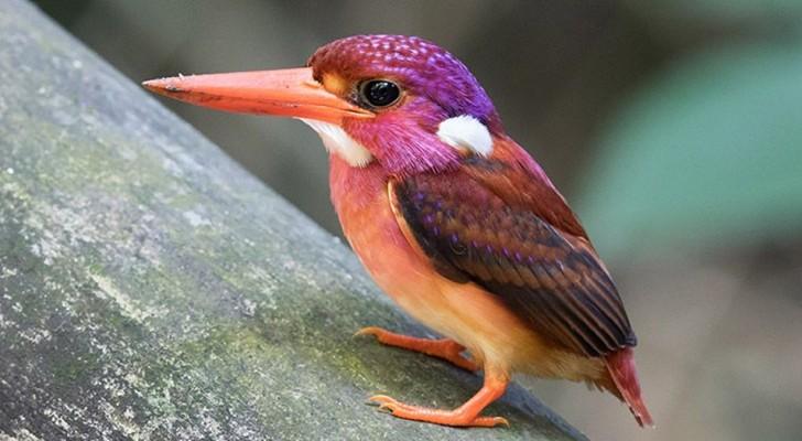 Il Martin Pescatore Nano delle Filippine è un uccellino coloratissimo e molto raro che rischia l'estinzione