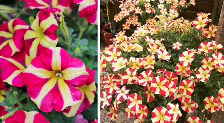 De gekleurde bloembladen van deze petunia lijken perfecte harten te vormen: een eenvoudige plant met prachtige bloemen