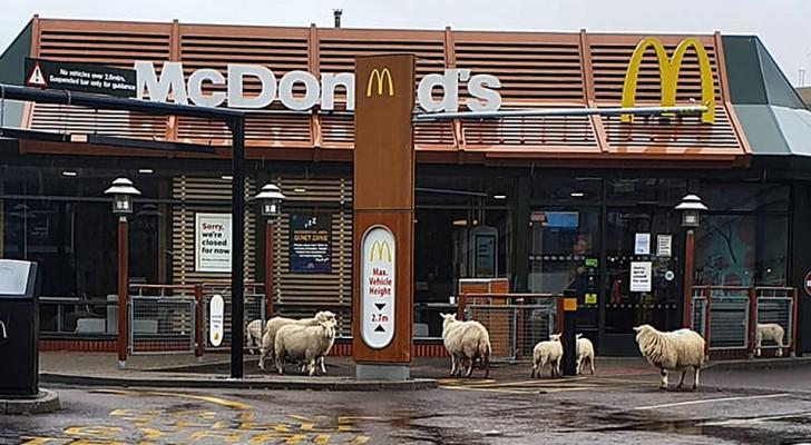 Galles: con gli umani in casa, un gregge di pecore si