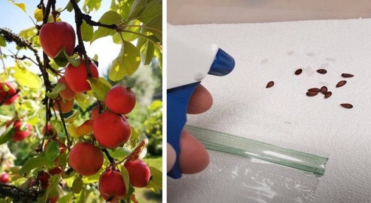 Como cultivar un manzano partiendo de semillas: la guia paso a paso