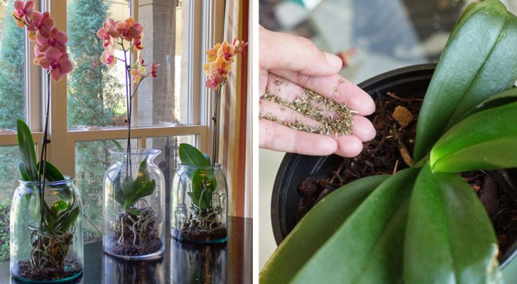 Some useful tips to take care of an orchid at home: they are beautiful plants, but also very delicate