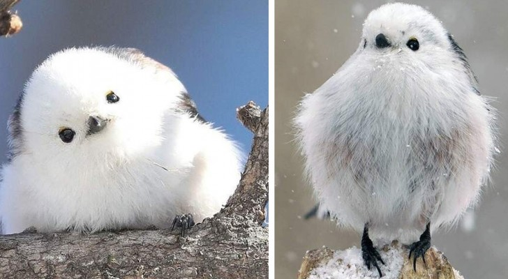 De Japanse staartmees is een vogel met witte veren die zo sierlijk is dat hij eruitziet als een bolletje wol