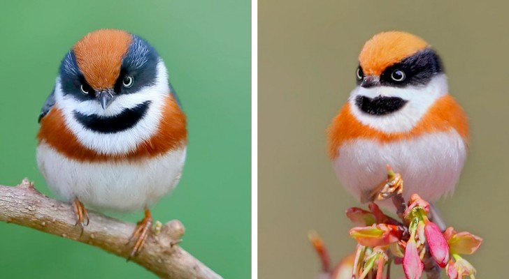 De roodkruinstaartmees:: de vogel met de kleurrijke veren en een bandietenmasker rond de ogen