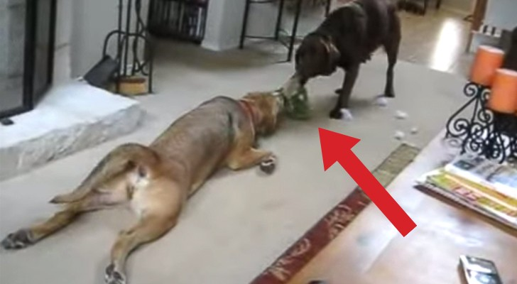 2 dogs and the funniest tug of war I've ever seen !