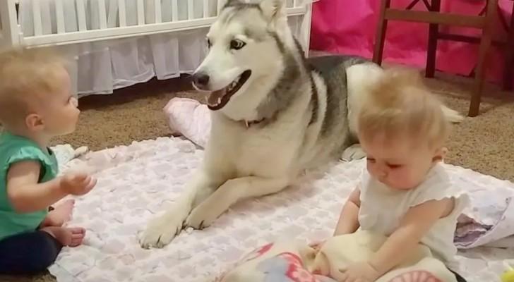 Eltern filmen, wie ihr Husky mit ihren Zwillingen spielt. Ein magischer Moment
