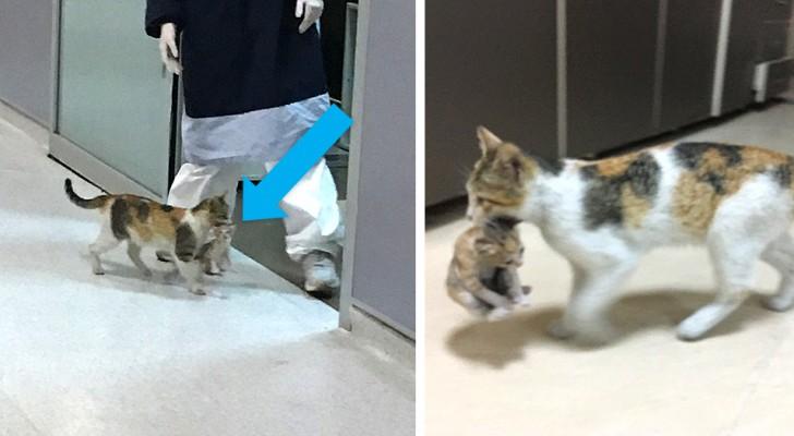 Eine streunende Katze bringt ihr Junges in die Notaufnahme und bittet Ärzte und Krankenschwestern, es zu behandeln