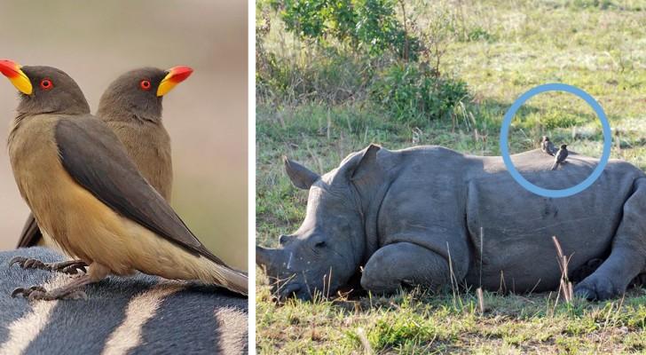 Questi uccellini avvertono i rinoceronti della presenza dei bracconieri: un'amicizia che può salvare una specie