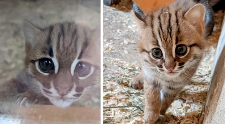 In Cornwall wurde ein Paar sehr seltener Rostkatzen geboren, die kleinsten in der Natur bekannten Wildkatzen