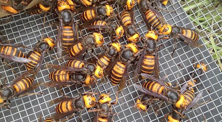 USA: de Aziatische reuzenhoornaar is gearriveerd, in staat om hele bijenkorven binnen een paar uur uit te roeien