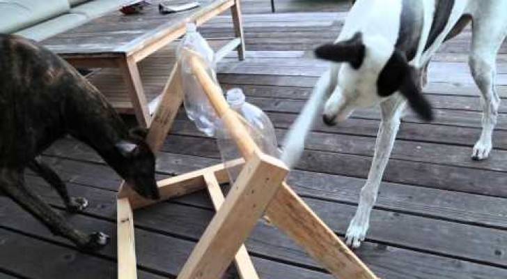 This woman creates a logic game for her two dogs but the female is just too smart!!