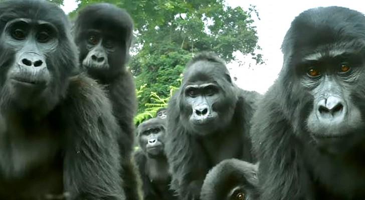 Gli scienziati ascoltano per la prima volta il particolare canto di alcuni gorilla, grazie a un robot-scimmia
