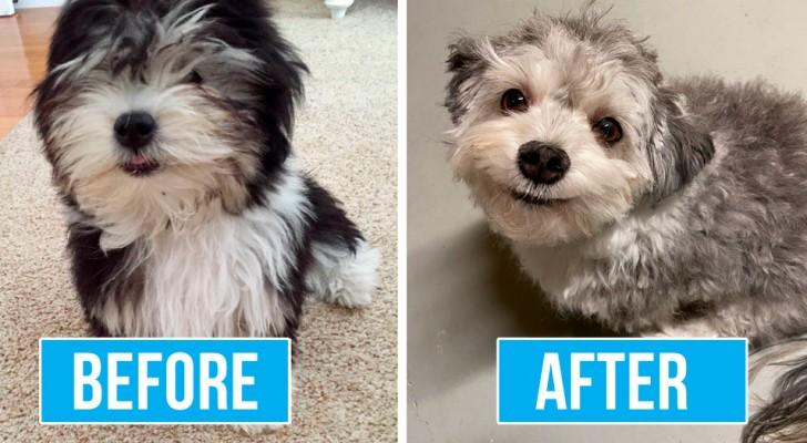 Durante il lockdown, alcune persone hanno scelto di tosare i propri cani a casa con risultati piuttosto esilaranti