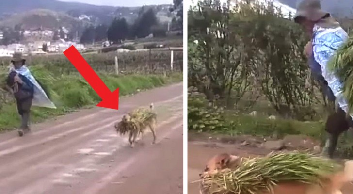 Every day this dog helps his human friend to take in the harvest in the fields, in real teamwork