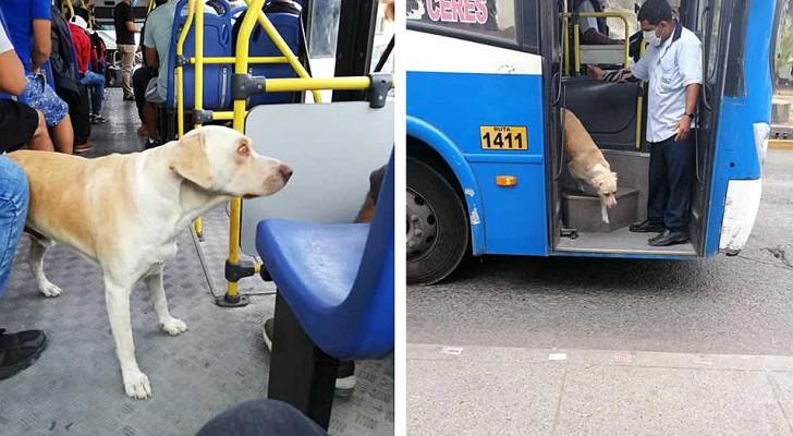 """Een hond is zijn baasje kwijt en keert dagenlang terug om hem in de bus te zoeken, de passagiers """"om hulp vragend"""""""