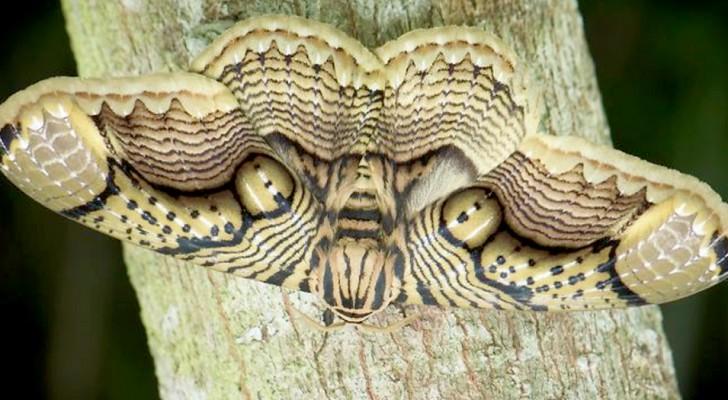 Ein Fotograf fängt eine schöne Motte aus Borneo ein: Die Form ihrer Flügel ähnelt den Augen eines Tigers