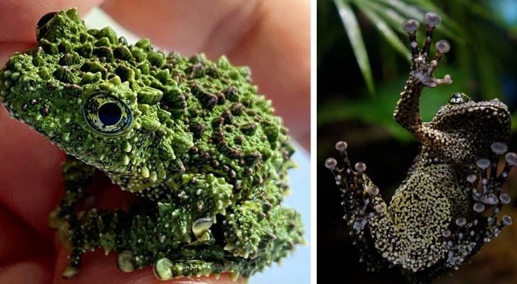 La rana-muschio vietnamita sembra una pietra ricoperta di licheni: una vera regina del camouflage del regno animale