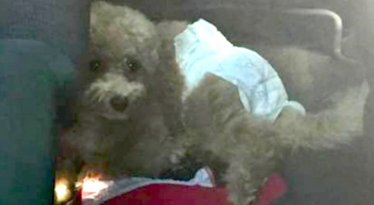 A family goes on a trip and leaves their dog in the car in the sun with a diaper: they are reported