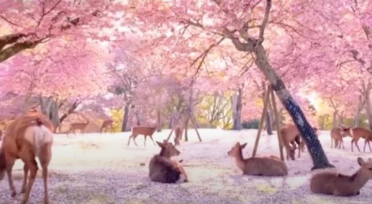 Giappone, decine di cervi riposano placidi sotto i ciliegi in fiore: le immagini sembrano uscite da un film