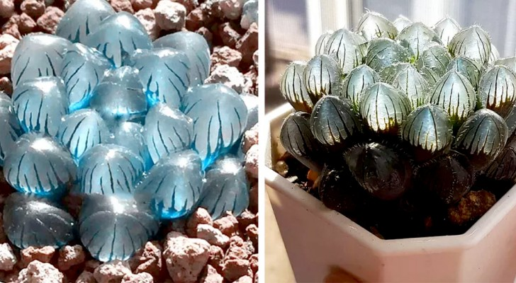 Queste originali piante succulente hanno delle foglie che ricordano dei magici cristalli trasparenti