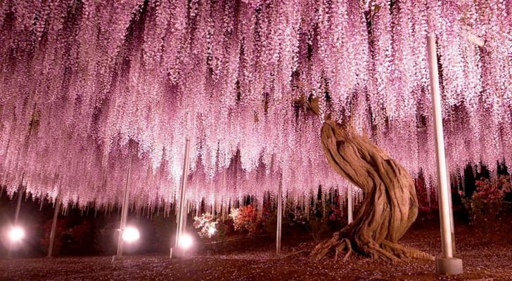 In Japan gibt es einen spektakulären Glyzinienbaum: Er ist 144 Jahre alt und hat eine Ausdehnung von fast 2000 Quadratmetern