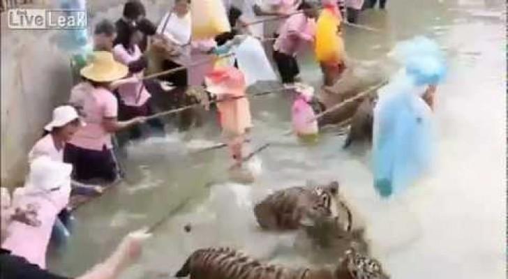 Turisti giocano con le tigri