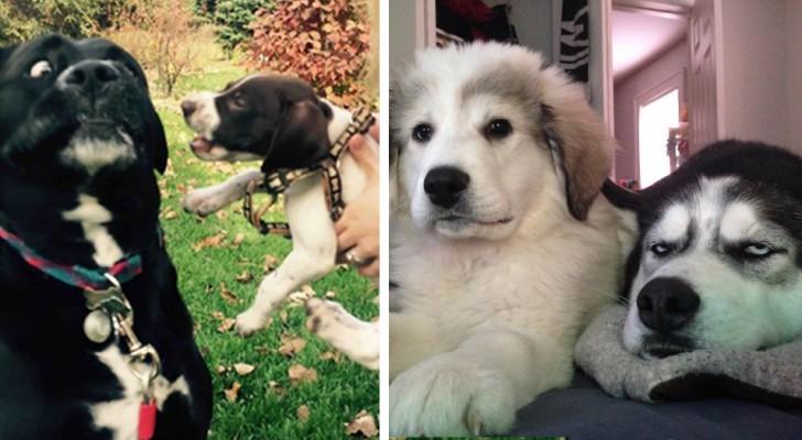 20 foto divertenti di cani a cui i padroni hanno rovinato la vita adottando un cucciolo
