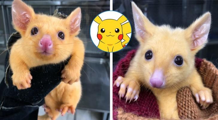 Una clinica ha salvato un raro marsupiale color oro: lo hanno chiamato Pikachu