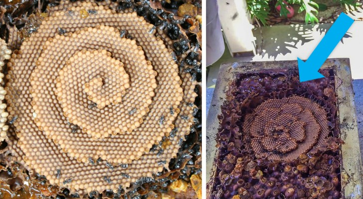 Gli alveari di alcune particolari api hanno un'insolita forma a spirale che la scienza non è ancora riuscita a spiegare