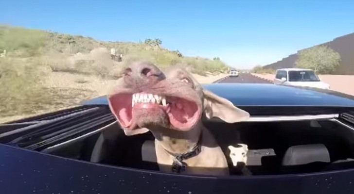 Traveling with his head out the sunroof: the dog's face is hilarious