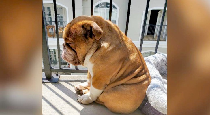 This bulldog misses playing with kids so much that he spends most of his time watching the neighborhood kids play from his balcony window