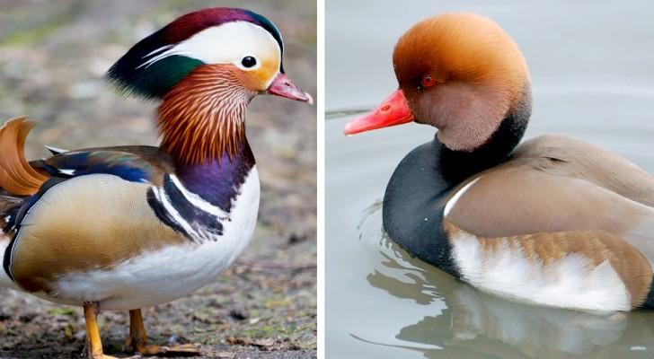 10 foto che dimostrano che le anatre non hanno nulla da invidiare ad un pavone