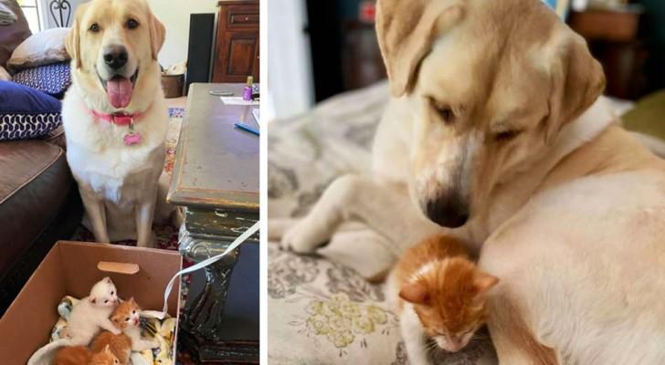 Una donna salva tre gattini minuscoli e li porta a casa: il suo Labrador li adotta all'istante