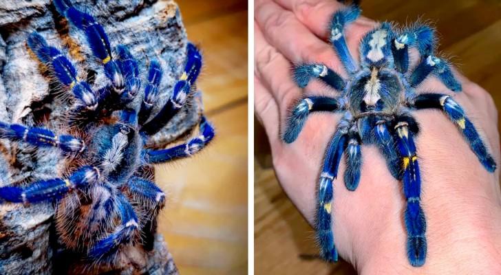 Una rarissima tarantola dal colore blu metallico: anche chi non ama i ragni non potrà che trovarla affascinante